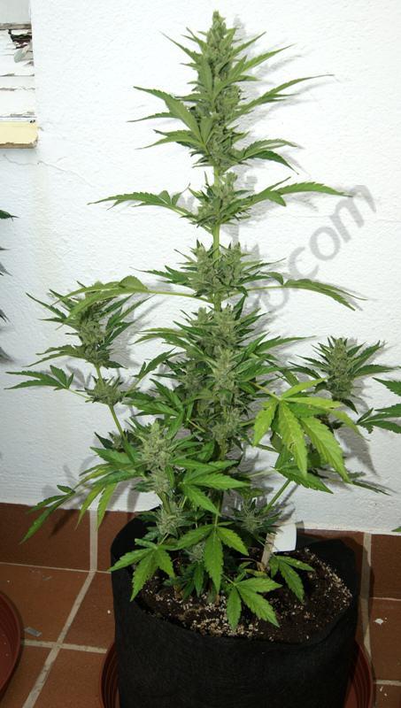 FLash Babylon, Smart Pot 11L, en fleurs