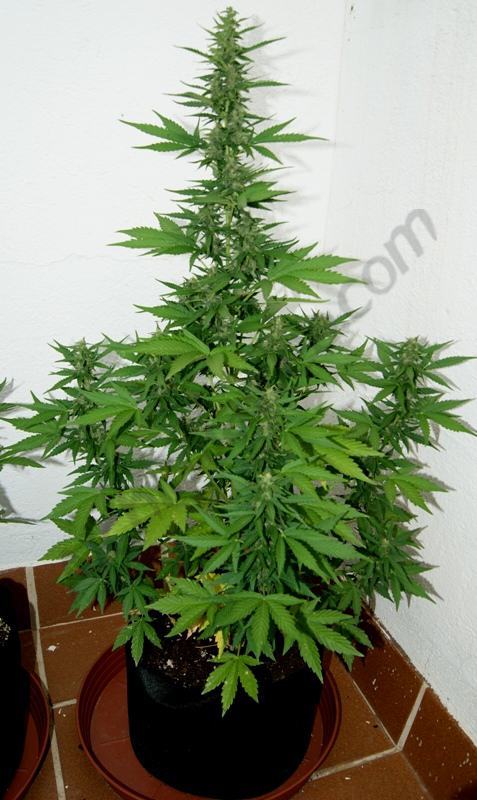 Fb 11l 5 semaine de floraison blog du growshop alchimia for Culture cannabis exterieur en pot