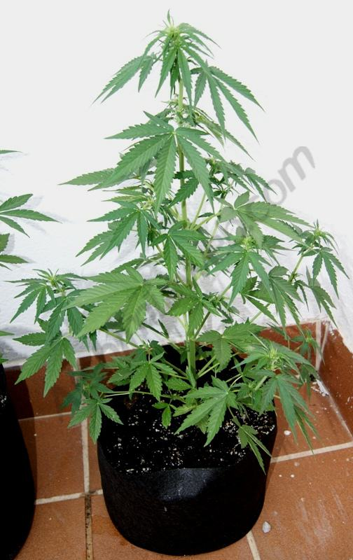 Flash babylon en d but de floraison blog du growshop for Cannabis floraison exterieur
