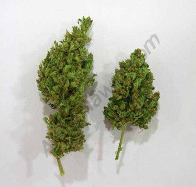 T tes de rca for Culture de cannabis en exterieur en pot