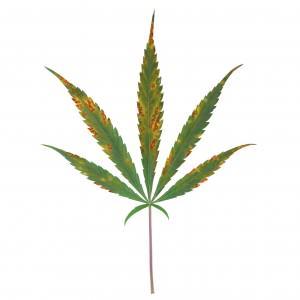 Carence et exc s de calcium dans les cultures de cannabis for Cannabis floraison interieur