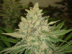 Fleur de cannabis cultivé en coco