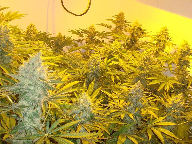 Comment arroser le cannabis en culture hydroponique for Arrosage amaryllis pendant la floraison