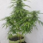 Récolter du cannabis de juin à novembre sur son balcon