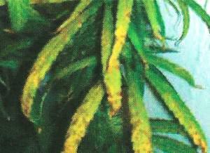 Carence de manganèse sur le cannabis