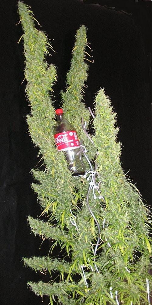 Cannabis Sativa Thaï, 18e semaine de floraison