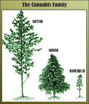 Famille du cannabis