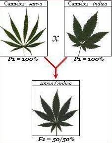 Cannabis Sativa, Indica, Ruderalis, et variétés hybrides