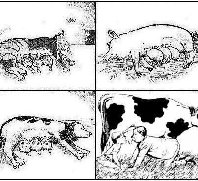 Le lait de vache n'est pas destiné aux humains