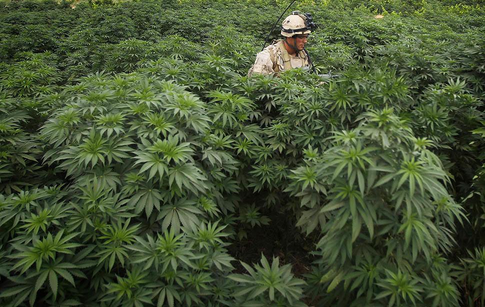 Champs de Cannabis Indica en Afghanistan