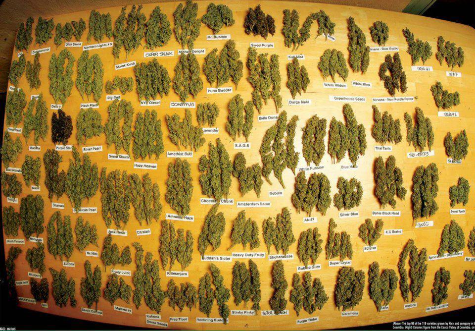 Diversité des variétés de cannabis