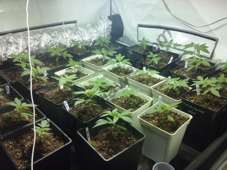 Erreurs Frquentes Dans La Culture Du Cannabis  Blog Du Growshop