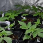 Graines de cannabis d'intérieur: quelles variétés indoor?
