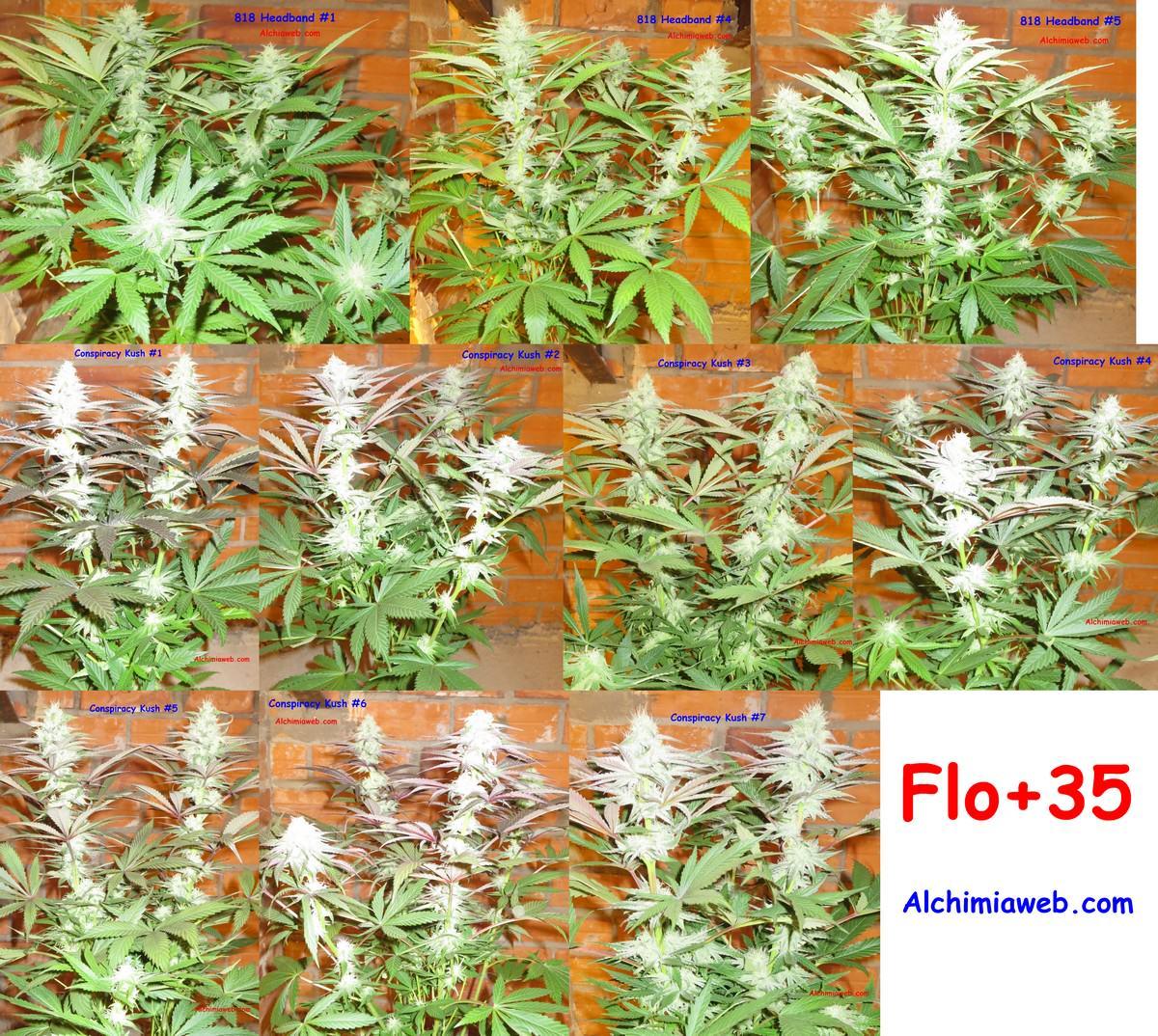 Culture de graines de cannabis r guli res en int rieur for Cannabis floraison interieur