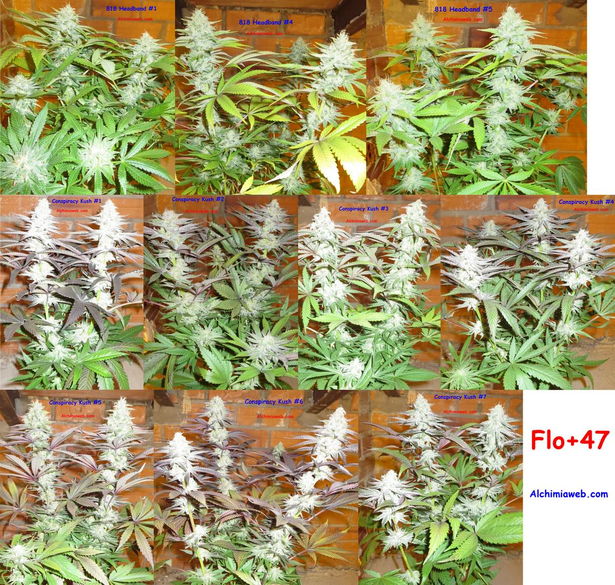 Culture de graines de cannabis r guli res en int rieur for Floraison cannabis exterieur