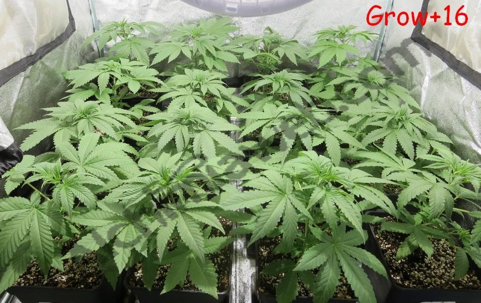Plantes de cannabis après 16 jours de croissance
