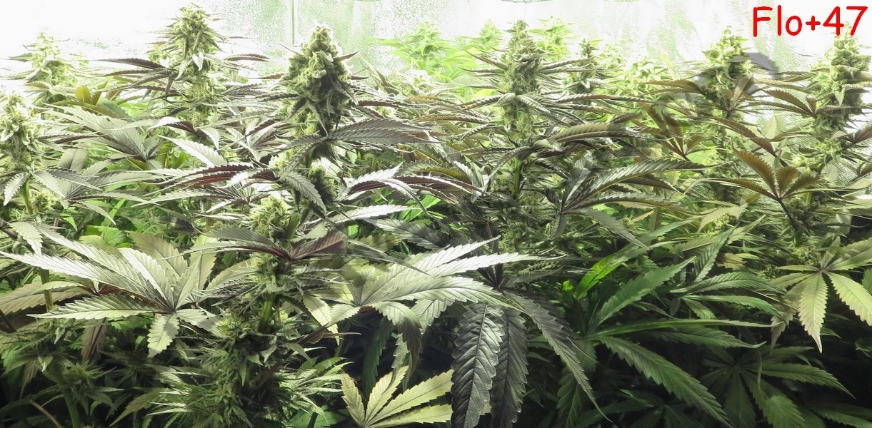 Plantes de cannabis après 7 semaines de floraison