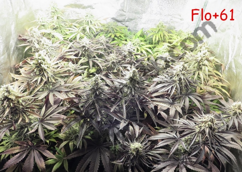 fin de floraison cannabis interieur 28 images culture