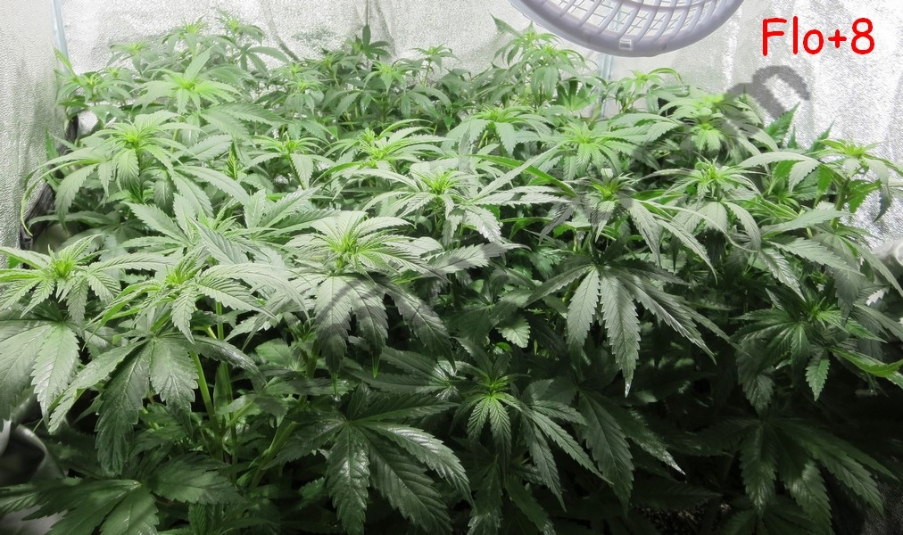 culture de graines de cannabis r guli res en int rieur