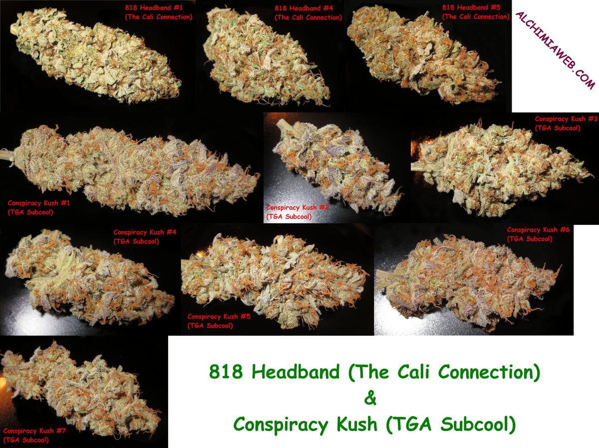 Buds de Conspiracy Kush et de 818 Headband