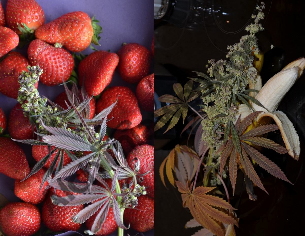 Jus de cannabis et de fruits