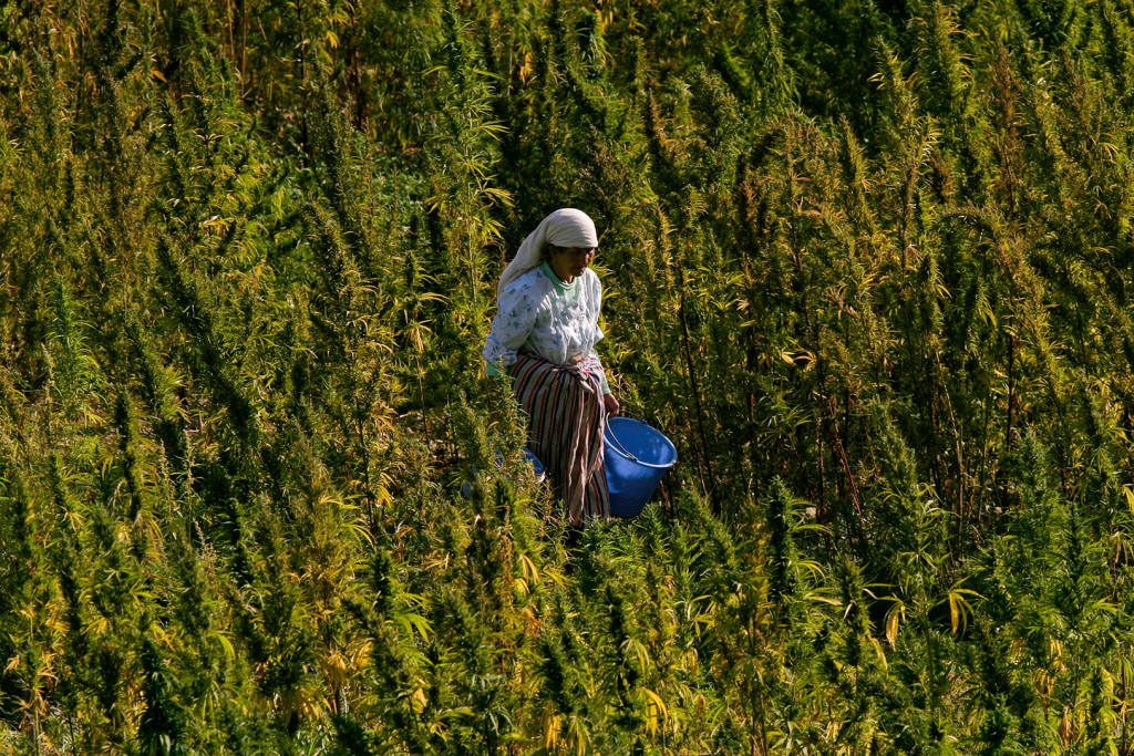 Culture de cannabis au Maroc