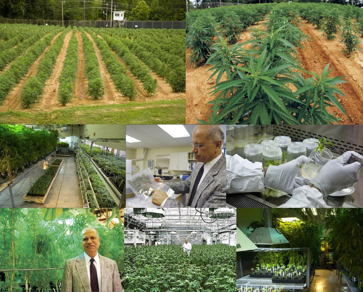 Culture de cannabis du gouvernement américain (Mississippi)
