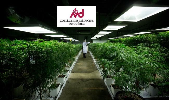 Le Collège des Médecins du Québec demande la légalisation du cannabis