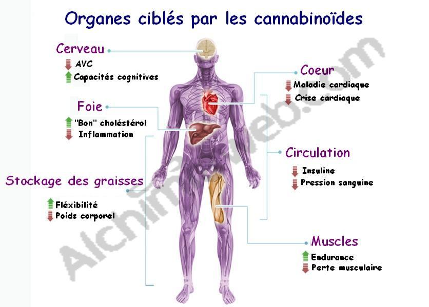 Les cannabinoïdes agissent sur de nombreux organes du corps humain
