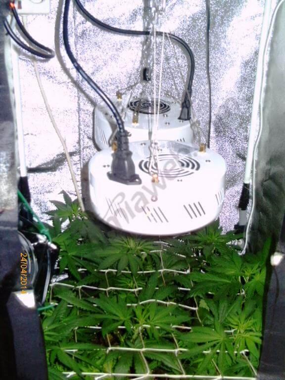 Cultiver du cannabis en espaces r duits blog du growshop for Floraison cannabis interieur