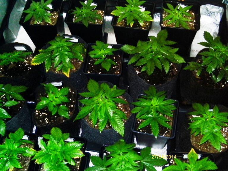 Culture de cannabis conventionnelle