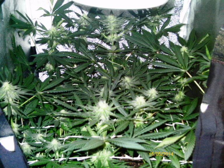 Cultiver du cannabis en espaces r duits blog du growshop for Planter cannabis exterieur