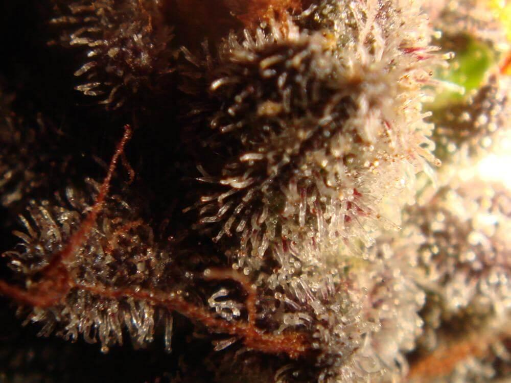 Trichomes ambrés (12)