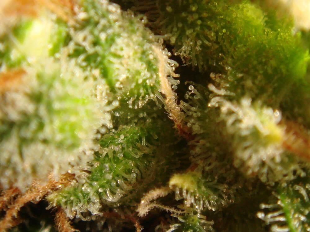 Trichomes ambrés (2)