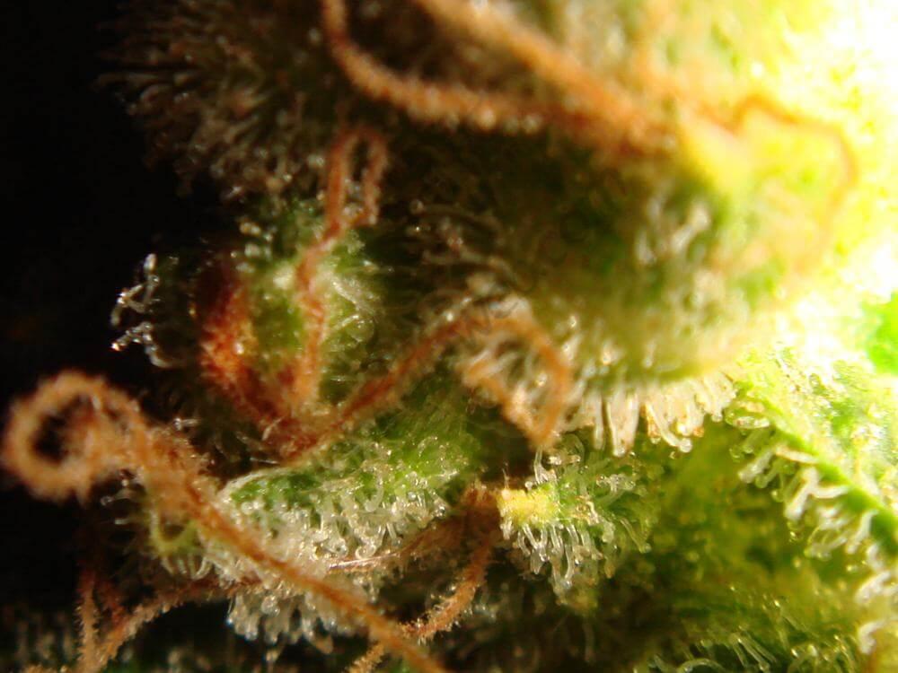 Trichomes ambrés (4)
