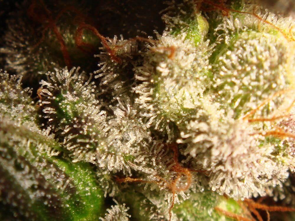 Trichomes de cannabis Flo terminant de mûrir avant la récolte