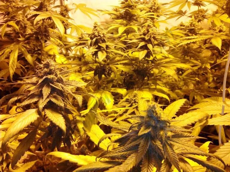 Cannabis durant la 5eme semaine de floraison