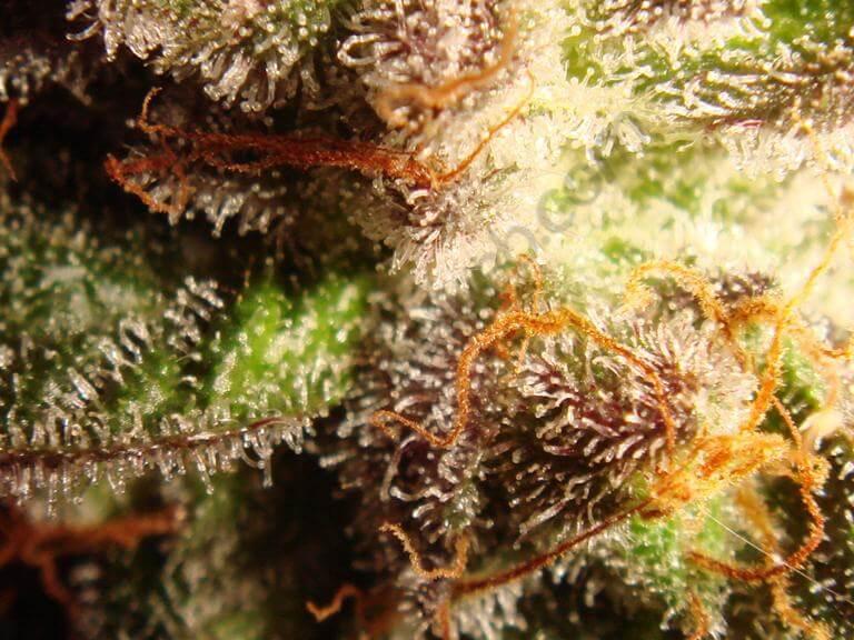 Morphologie des trichomes de marijuana, quelques jours avant la récolte