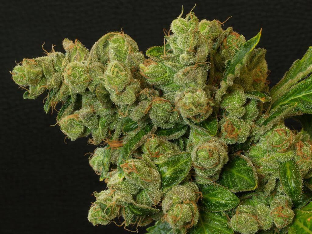 Introduction à la dégustation de cannabis