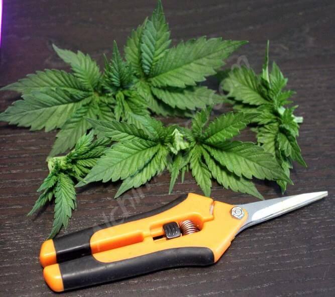 Apex des plantes coupés.