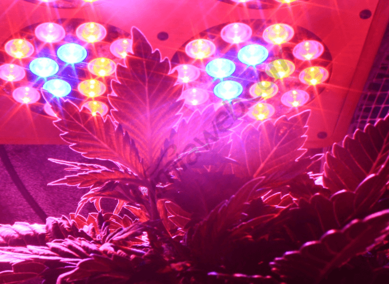 Culture de cannabis sous Leds
