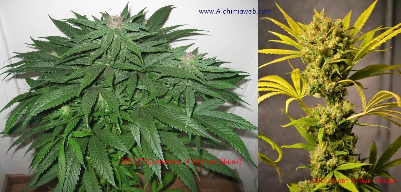 Plantes de cannabis médical de CBD Crew