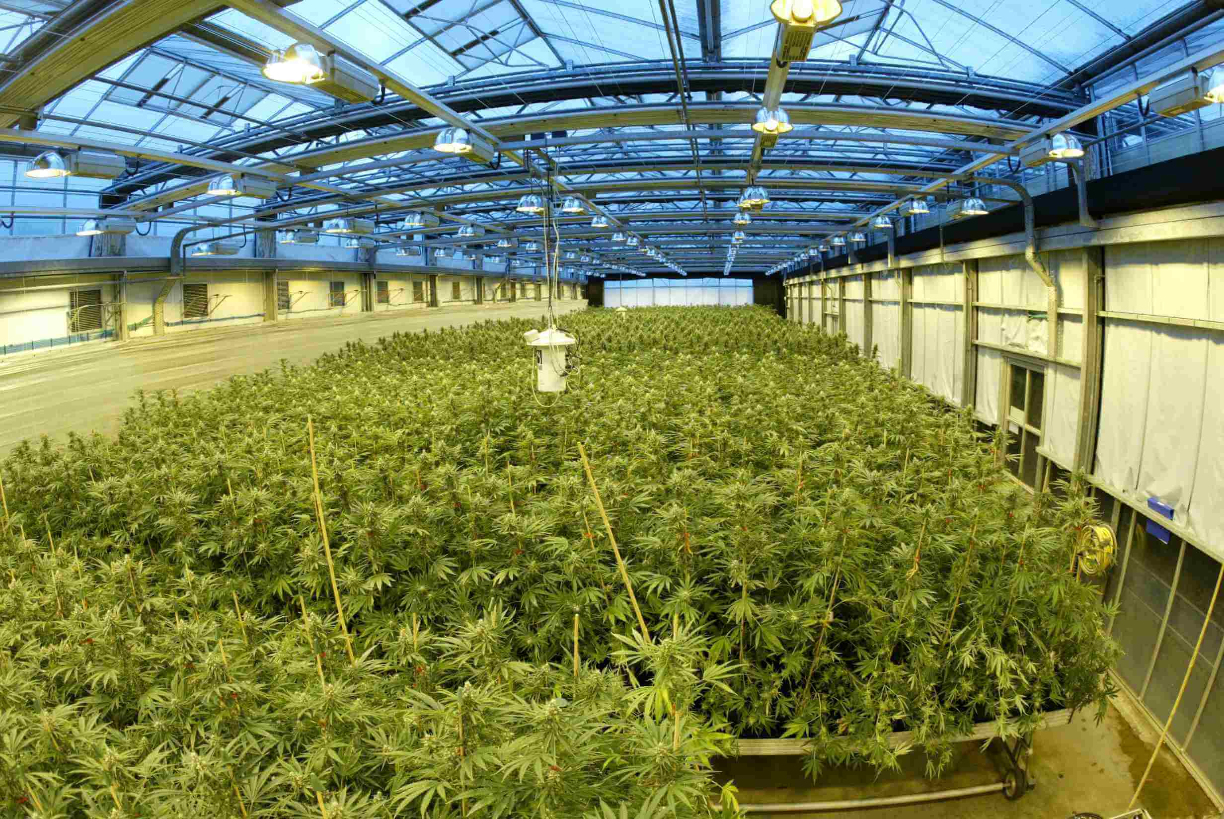 Actualit s du cannabis m dical juin 2015 blog du for Culture cannabis exterieur hiver