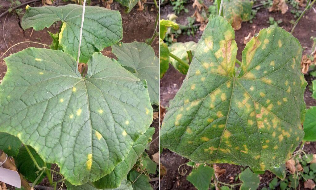 Evolution des dégâts du Mildiu sur une plante de concombre.