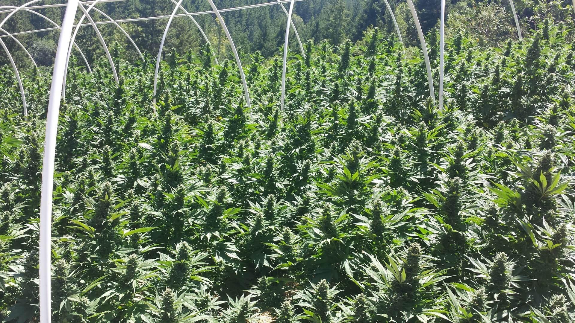 Culture de cannabis réalisée par HSO