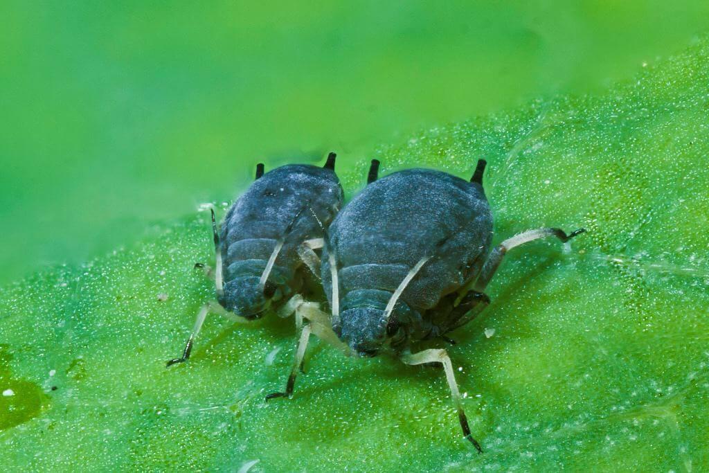 Insectes et maladies des plantes de cannabis blog du for Terreau cannabis exterieur