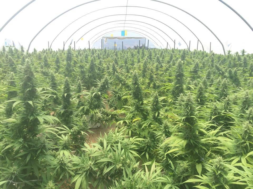 Plantes de cannabis de Tikun Olam. (Photo : Tikun Olam)