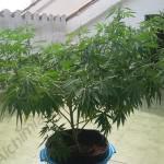 Plante de cannabis travaillée avec la méthode du palissage