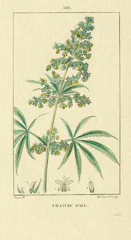 Dessin d'une plante de cannabis mâle)