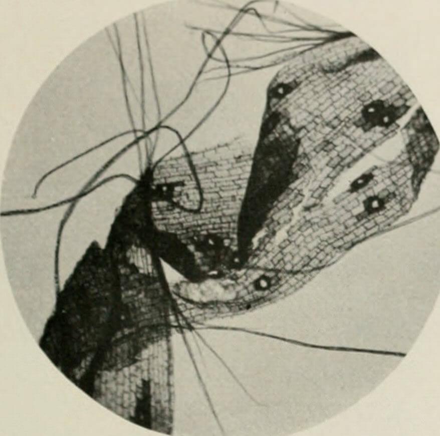 Restes de fibres de chanvre observés au microscope (Manille)